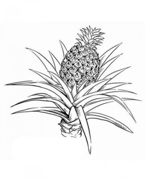 Malvorlagen Zum Drucken Ausmalbild Ananas Kostenlos 1