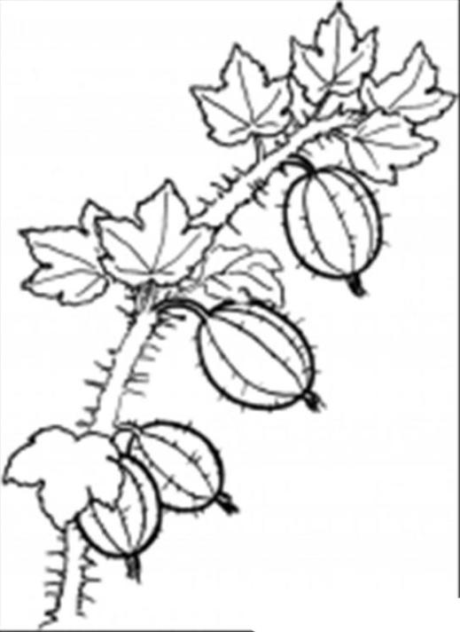 Ausmalbild Früchte Obst und Beere kostenlos 1